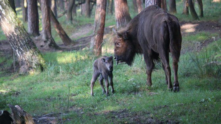 Uwaga na żubry, które uciekły z rezerwatu. Śląscy leśnicy wydali ostrzeżenie. Dotyczy również kierowców.