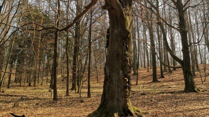 Nadleśnictwo Katowice tłumaczy, że wyrąb w Lasach Murckowskich odbywa się dla dobra przyrody.  Pod topór mają tam pójść nawet przepiękne, niemal 200-letnie buki.