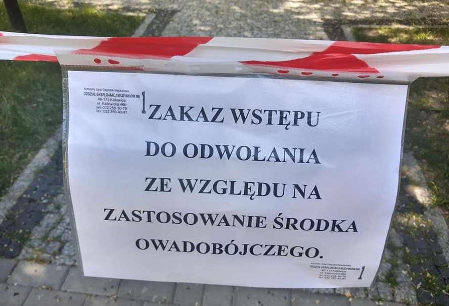 Inwazja azjatyckich biedronek w Katowicach.